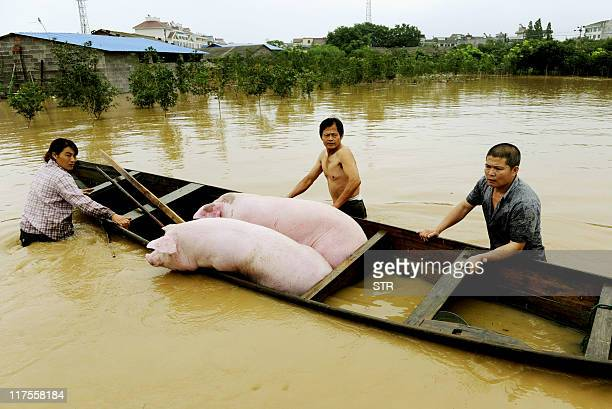 Chinese farmers rescue their pigs in flood waters after heavy rains hit Lanxi, east China's Zhejiang province on June 20, 2011. Flood-hit areas of...