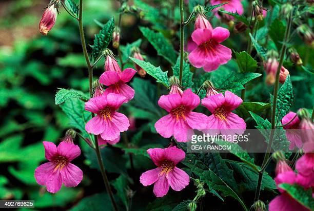 Chinese foxglove Plantaginaceae