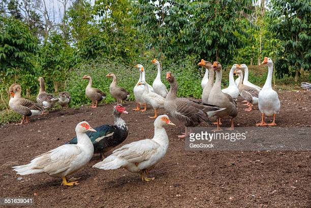 chinese geese and muscovy ducks - muscovy duck stock pictures, royalty-free photos & images