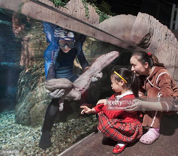 Chinese giant salamander (andrias davidianus)