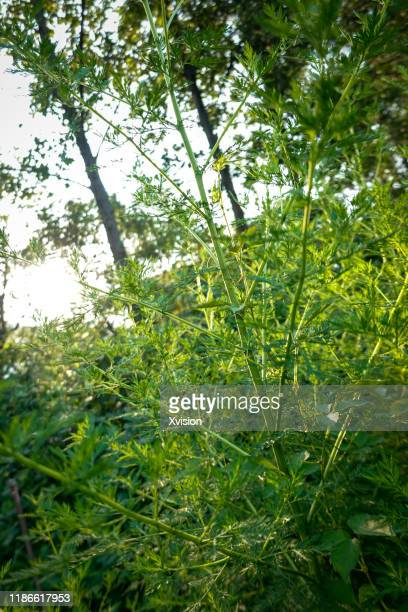 chinese herb plant artemisia annua growing in summer - artemisia photos et images de collection