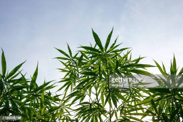 chinese herb plant cannabis sativa growing in summer - 大麻草 ストックフォトと画像