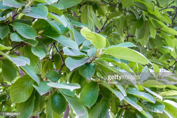 chinese herb plant magnolia liliiflora growing in summer - mulan stock pictures, royalty-free photos & images