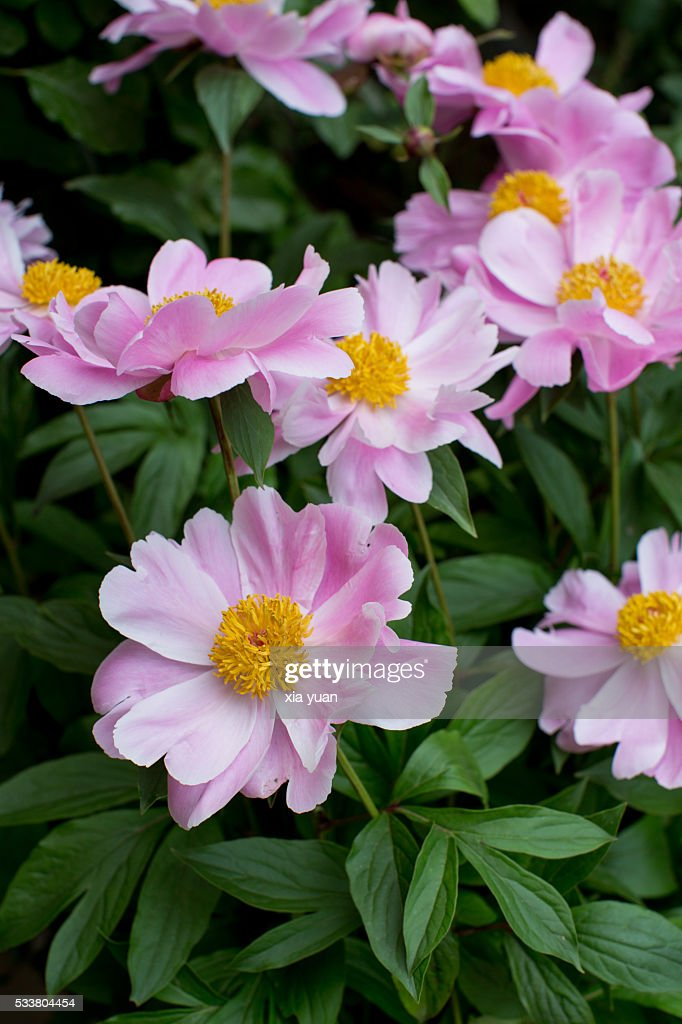 Chinese herbaceous peony blooming : Foto stock