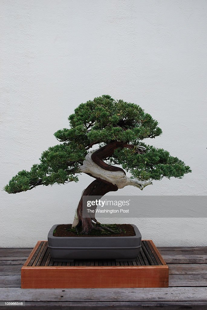 Chinese Juniper At The National Bonsai And Penjng Museum National News Photo Getty Images