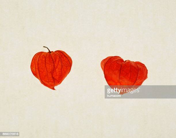 chinese lantern plant - chinese lantern stock pictures, royalty-free photos & images