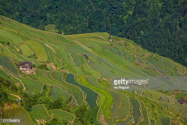 CONTENT] Chinese Miao rice terraces in Congjiang of Guizhou province