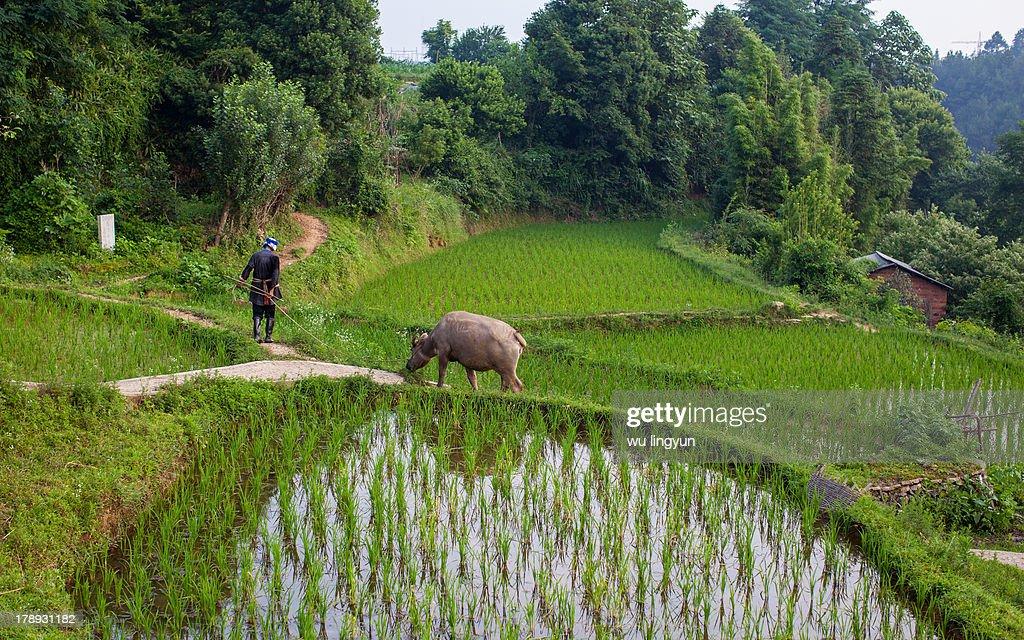Chinese Miao woman leading a buffalo : News Photo