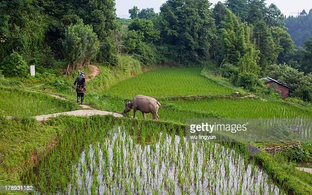 Chinese Miao woman led a buffalo arcoss the paddy fields.