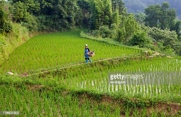 Chinese Miao woman was walking across the paddy fields with a basket in southeast of guizhou province.
