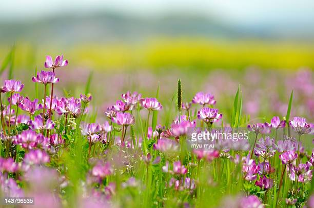Chinese milk vetch in spring field