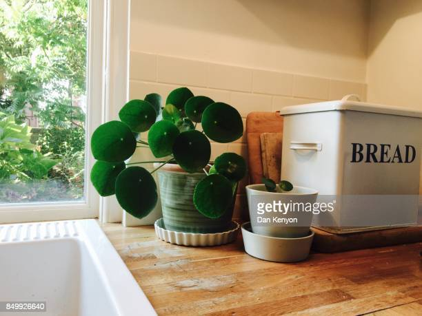 Chinese money plant in kitchen
