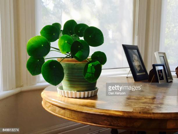 Chinese Money plant on table indoors