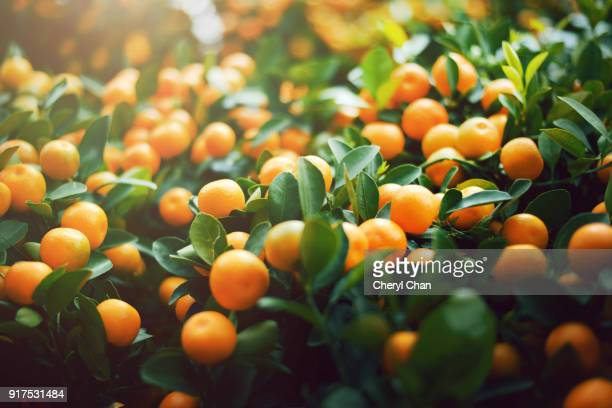 chinese new year plants - kumquat - prosperity stock photos and pictures