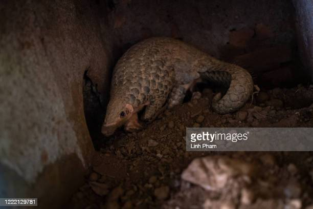Chinese pangolin is seen digging hole at Save Vietnam's Wildlife rescue center on June 22, 2020 in Cuc Phuong National Park, Ninh Binh Province,...