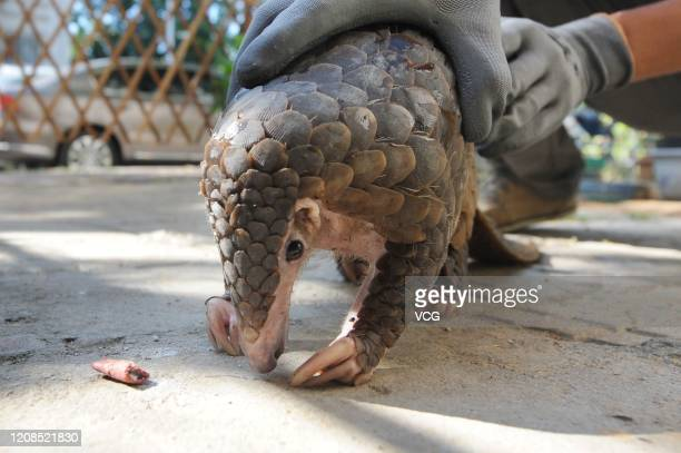 Chinese pangolin is seen on the ground on September 14 2017 in Qingdao Shandong Province China The Chinese pangolin is rescued by Qingdao Wildlife...