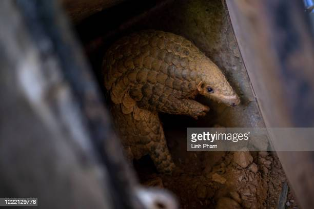 Chinese pangolin is seen reaching out to the keeper at Save Vietnam's Wildlife rescue center on June 22, 2020 in Cuc Phuong National Park, Ninh Binh...