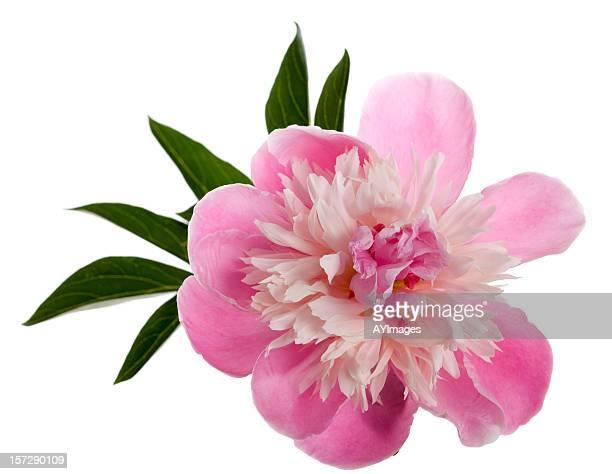 pivoine de chine» edulis superba» (paeonia lactiflora - pivoine photos et images de collection