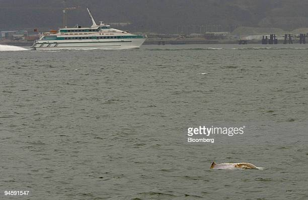 Chinese pink dolphin swims off the northern shore of Lantau Island in Hong Kong, China, March 18, 2007. The last pink dolphins off Hong Kong's coast...