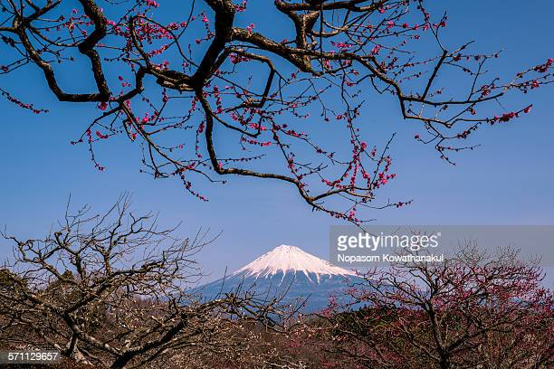 Chinese plum flower and mountain Fuji in spring