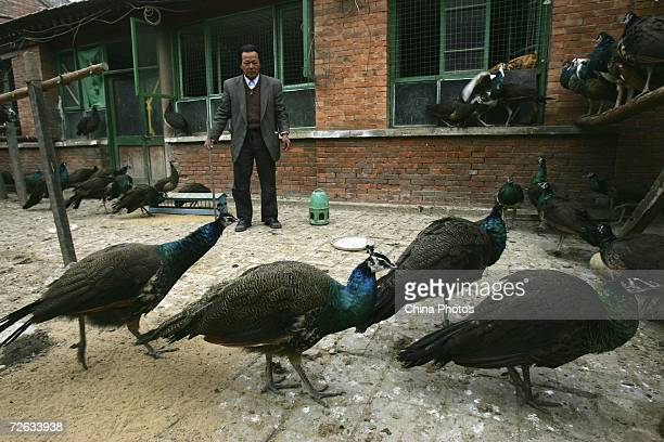 Chinese resident Zhang checks his peacocks in a yard on November 22 2006 in Beijing China Zhang started to raise about 20 peacocks as pets three...