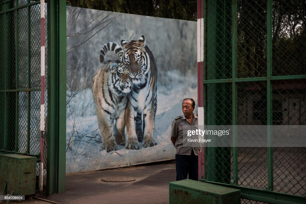 A Chinese security guard stand in front of a billboard showing Siberian tigers at the Heilongjiang Siberian Tiger Park on August 16, 2017 in Harbin, northern China. The center is one of two Siberian tiger parks in the Chinese province of Heilongjiang, about 500 kilometers (300 miles) from the border with Russia. It is considered the world's largest for breeding the Siberian, or Amur, tiger which is listed as endangered by the World Wildlife Federation. As many as 540 are known to exist. The Harbin center opened in 1986 and claims an 80-percent survival rate among the 100 or so cubs born in captivity every year, though a government plan reveals it could be another decade before the program actually releases a tiger to the wild. In 1996, it opened to the public as a commercial park allowing tourists on safari buses to view its 600 tigers in an open range area meant to simulate their natural habitat. Customers pay extra to throw live chickens or ducks to the tigers to eat, or to hold a tiger cub. Critics regard the park as a large-scale breeding farm, where tigers are kept in unnatural conditions and unable to hunt to survive. Despite a longstanding government directive, some facilities in China have been accused of trading products made from tiger parts, including 'wine' made by soaking tiger bones in alcohol. The park divides the tigers among different areas in the park according to age and seniority, and cubs begin 'wilderness training' when they are three to four months old. Wildlife experts say inbreeding and natural habitat destruction pose the greatest risk to the Siberian or Amur tiger subspecies.
