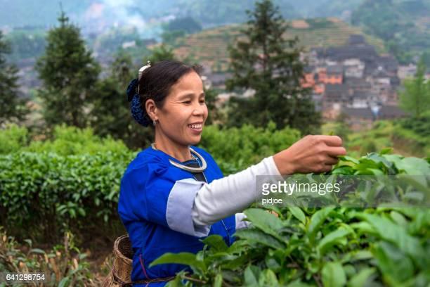 Chinesische tea picker Arbeiten