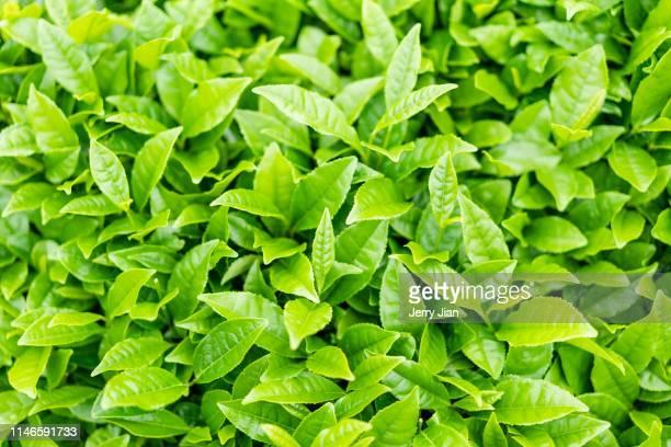 chinese tea plantation - hoja te verde fotografías e imágenes de stock