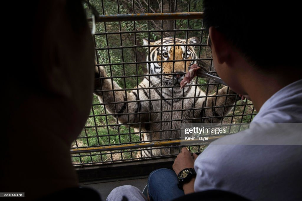 A Chinese tourist dangles a piece of raw meat in front of a Siberian tiger as they ride in a bus at the Heilongjiang Siberian Tiger Park on August 16, 2017 in Harbin, northern China. The center is one of two Siberian tiger parks in the Chinese province of Heilongjiang, about 500 kilometers (300 miles) from the border with Russia. It is considered the world's largest for breeding the Siberian, or Amur, tiger which is listed as endangered by the World Wildlife Federation. As many as 540 are known to exist. The Harbin center opened in 1986 and claims an 80-percent survival rate among the 100 or so cubs born in captivity every year, though a government plan reveals it could be another decade before the program actually releases a tiger to the wild. In 1996, it opened to the public as a commercial park allowing tourists on safari buses to view its 600 tigers in an open range area meant to simulate their natural habitat. Customers pay extra to throw live chickens or ducks to the tigers to eat, or to hold a tiger cub. Critics regard the park as a large-scale breeding farm, where tigers are kept in unnatural conditions and unable to hunt to survive. Despite a longstanding government directive, some facilities in China have been accused of trading products made from tiger parts, including 'wine' made by soaking tiger bones in alcohol. The park divides the tigers among different areas in the park according to age and seniority, and cubs begin 'wilderness training' when they are three to four months old. Wildlife experts say inbreeding and natural habitat destruction pose the greatest risk to the Siberian or Amur tiger subspecies.