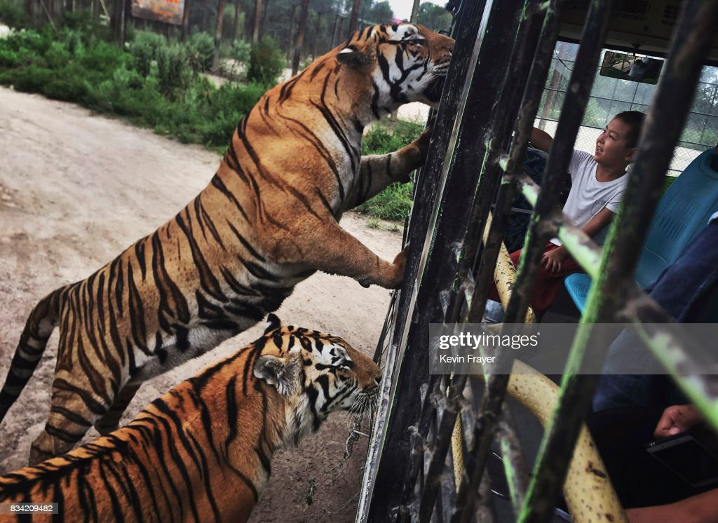 A Chinese tourist feeds Siberian tigers from a tourist bus at the Heilongjiang Siberian Tiger Park on August 16, 2017 in Harbin, northern China. The center is one of two Siberian tiger parks in the Chinese province of Heilongjiang, about 500 kilometers (300 miles) from the border with Russia. It is considered the world's largest for breeding the Siberian, or Amur, tiger which is listed as endangered by the World Wildlife Federation. As many as 540 are known to exist. The Harbin center opened in 1986 and claims an 80-percent survival rate among the 100 or so cubs born in captivity every year, though a government plan reveals it could be another decade before the program actually releases a tiger to the wild. In 1996, it opened to the public as a commercial park allowing tourists on safari buses to view its 600 tigers in an open range area meant to simulate their natural habitat. Customers pay extra to throw live chickens or ducks to the tigers to eat, or to hold a tiger cub. Critics regard the park as a large-scale breeding farm, where tigers are kept in unnatural conditions and unable to hunt to survive. Despite a longstanding government directive, some facilities in China have been accused of trading products made from tiger parts, including 'wine' made by soaking tiger bones in alcohol. The park divides the tigers among different areas in the park according to age and seniority, and cubs begin 'wilderness training' when they are three to four months old. Wildlife experts say inbreeding and natural habitat destruction pose the greatest risk to the Siberian or Amur tiger subspecies.