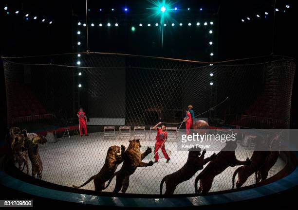 A Chinese trainer cracks a whip next to Siberian tigers as they perform at a private circus on rented space at the Heilongjiang Siberian Tiger Park...