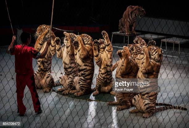 A Chinese trainer swings a stick next to Siberian tigers as they perform at a private circus on rented space at the Heilongjiang Siberian Tiger Park...