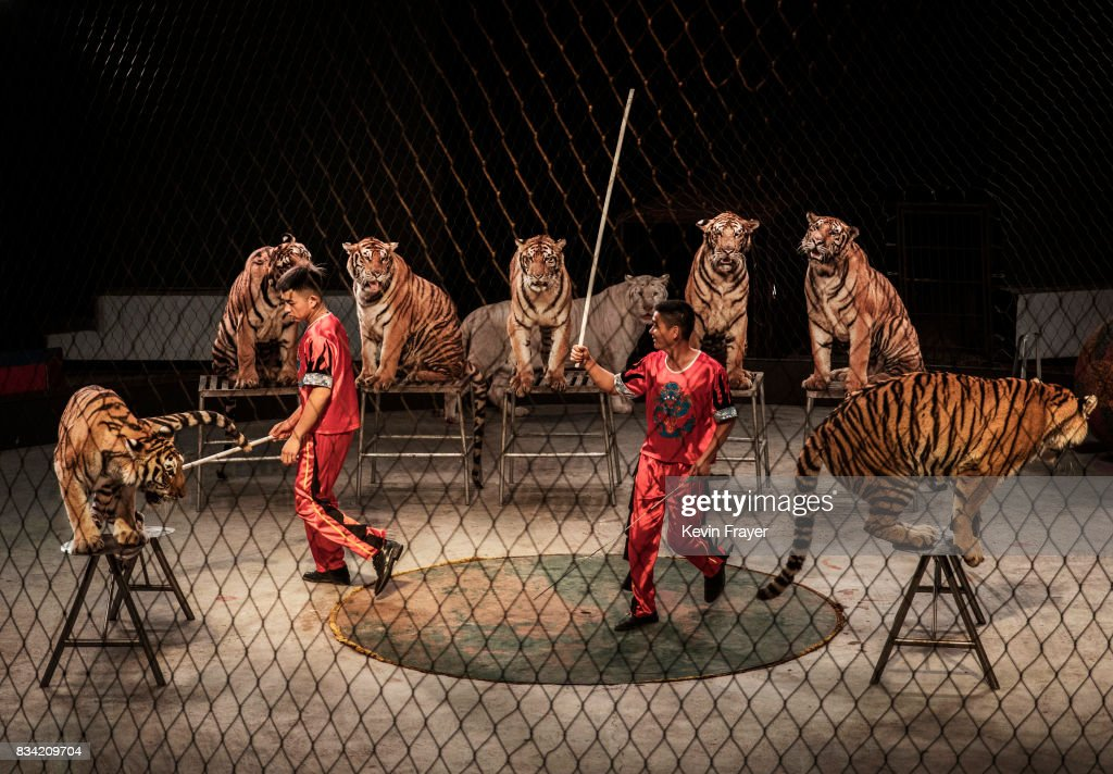 A Chinese trainer swings a stick next to Siberian tigers as they perform at a private circus on rented space at the Heilongjiang Siberian Tiger Park on August 15, 2017 in Harbin, northern China. The center is one of two Siberian tiger parks in the Chinese province of Heilongjiang, about 500 kilometers (300 miles) from the border with Russia. It is considered the world's largest for breeding the Siberian, or Amur, tiger which is listed as endangered by the World Wildlife Federation. As many as 540 are known to exist. The Harbin center opened in 1986 and claims an 80-percent survival rate among the 100 or so cubs born in captivity every year, though a government plan reveals it could be another decade before the program actually releases a tiger to the wild. In 1996, it opened to the public as a commercial park allowing tourists on safari buses to view its 600 tigers in an open range area meant to simulate their natural habitat. Customers pay extra to throw live chickens or ducks to the tigers to eat, or to hold a tiger cub. Critics regard the park as a large-scale breeding farm, where tigers are kept in unnatural conditions and unable to hunt to survive. Despite a longstanding government directive, some facilities in China have been accused of trading products made from tiger parts, including 'wine' made by soaking tiger bones in alcohol. The park divides the tigers among different areas in the park according to age and seniority, and cubs begin 'wilderness training' when they are three to four months old. Wildlife experts say inbreeding and natural habitat destruction pose the greatest risk to the Siberian or Amur tiger subspecies.