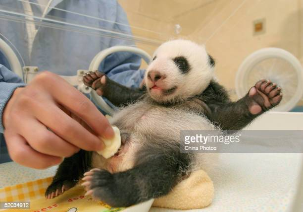 A Chinese veterinarian cleans excrement of a panda cub at the Wolong Giant Panda Bear Research Center on October 20 2004 in Wolong China The center...