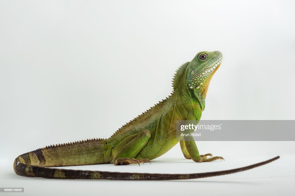 Chinese water dragon ( Physignathus cocincinusis ) a species of agamid lizard. It is also known as Asian water dragon, Thai water dragon, and green water dragon. : Stock Photo