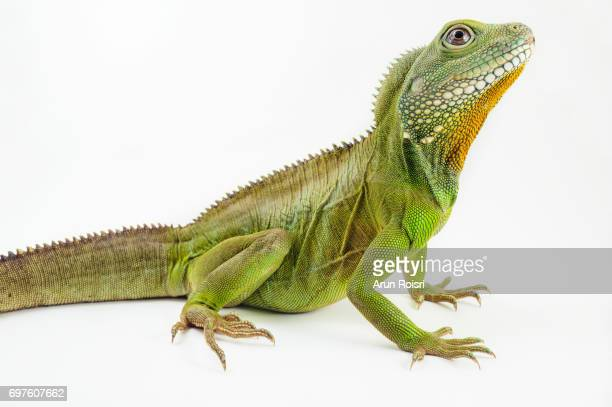 chinese water dragon ( physignathus cocincinusis ) a species of agamid lizard. it is also known as asian water dragon, thai water dragon, and green water dragon. - lizard stock pictures, royalty-free photos & images