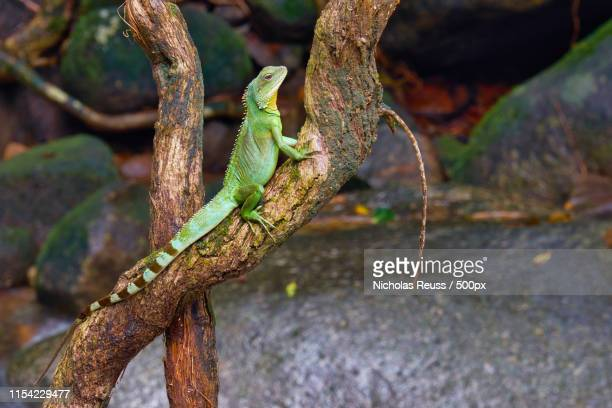 60 Top Chinese Water Dragon Pictures, Photos, & Images - Getty Images