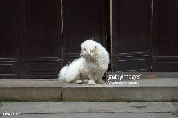 chinese white dog on the streets of huangshan, china - argenberg fotografías e imágenes de stock