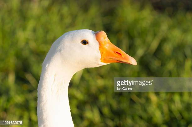 chinese white goose - ian gwinn stock pictures, royalty-free photos & images