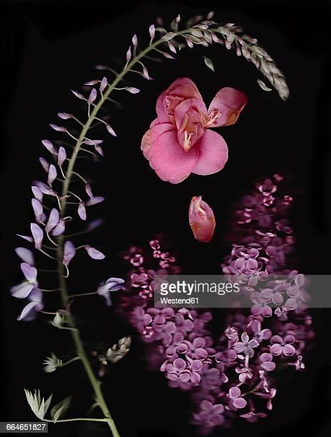 chinese wisteria, camellia and lilac in front of black background - glicine foto e immagini stock