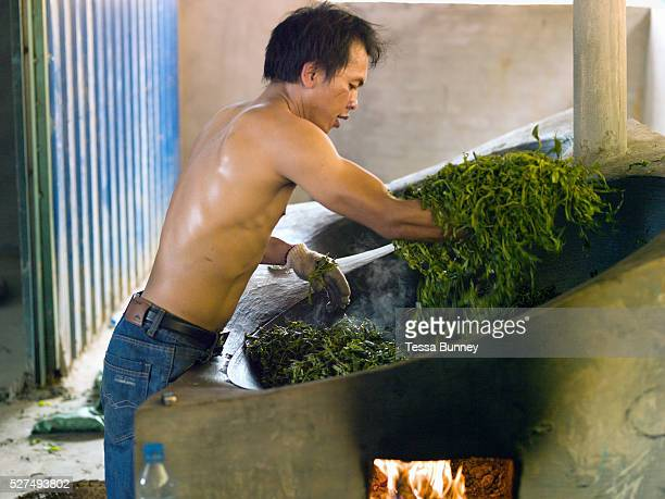 Chinese worker Ah Ty heats the tea leaves in a wok stirring by hand Ban Komaen Phongsaly province Lao PDR The leaves are then spread out on a bamboo...