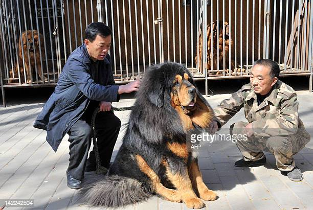 Chinese workers groom a Tibetan Mastiff for a dog show in Beijing on March 31 2012 Tibetan Mastiffs are huge and fierce guard dogs that have stood...