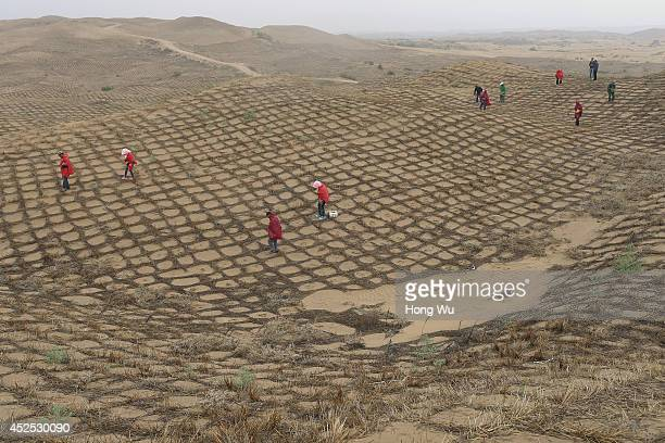 Chinese workers sow the seeds in the hay grids to prevent the sand from floating with the wind at the edge of the expanding Maowusu Desert in...