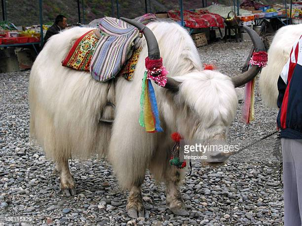 chinese yak - lifeispixels stock pictures, royalty-free photos & images
