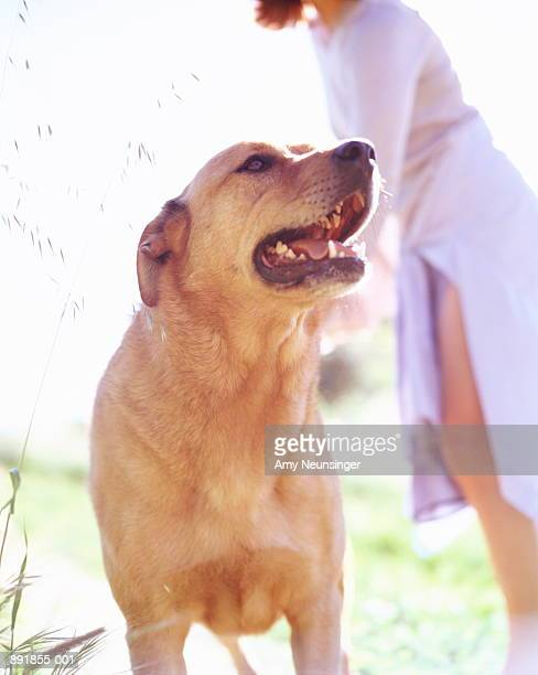 chinook dog outdoors, woman in background - chinook dog stock photos and pictures