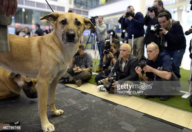 A Chinook one of three new breeds meets the press during a press event at Madison Square Garden January 15 2014 to promote the Firstever Masters...