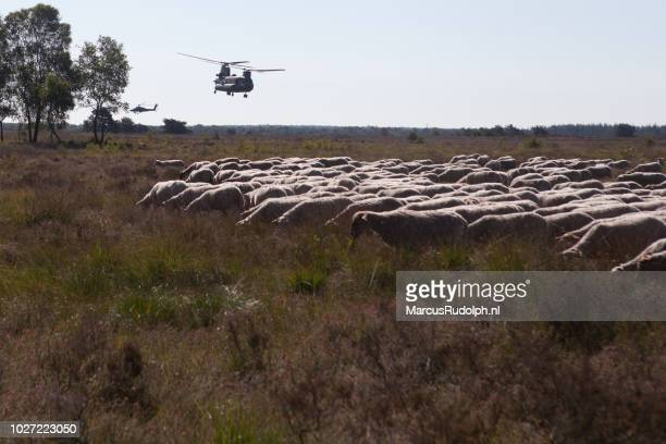 Chinook over herd of sheep