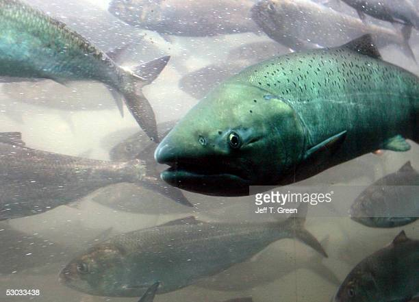 A chinook salmon along with a school of shad pass through the viewing room at McNary Lock and Dam on the Columbia River June 7 2005 near Umatilla...
