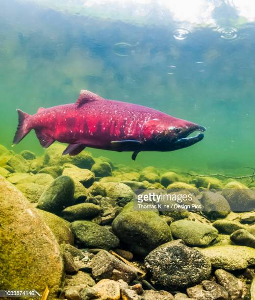 chinook salmon, also known as king salmon (oncorhynchus tshawytscha) in an alaskan stream during the summer - chinook salmon stock photos and pictures