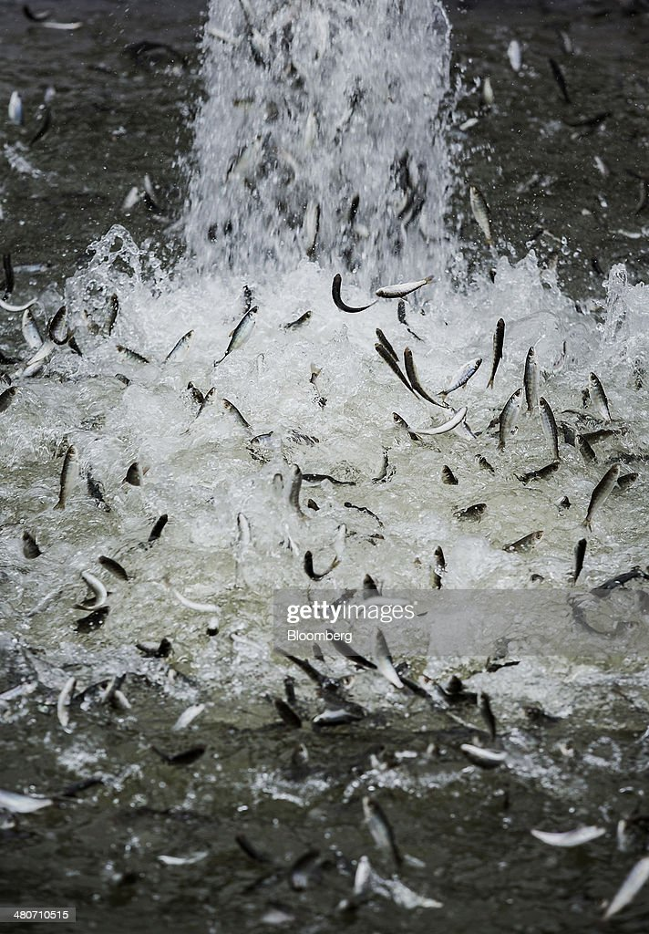 Chinook salmon are released into pens in Rio Vista, California, U.S., on Tuesday, March 25, 2014. California will begin hauling 30 million young Chinook salmon hundreds of miles toward the Pacific Ocean in tanker trucks to save the fishing industry after a record drought left rivers too low for migration. Photographer: Ken James/Bloomberg via Getty Images